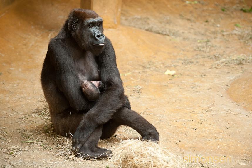Gorilla-Dame Melima (15) mit ihrem Neugeborenen im Zoo Hannover