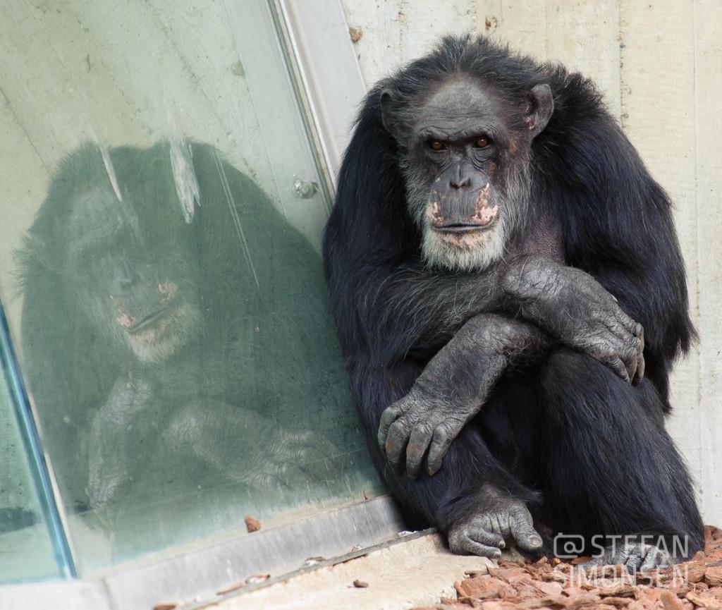 Trostlos und deprimierend: Der alte Betonbau des alten Schimpansen-Geheges, der jetzt von der neuen Aussenanlage Kibongo abgelöst wurde