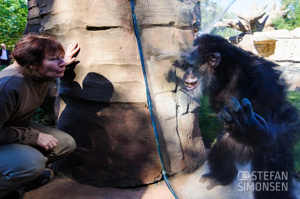 Wie diese Tierpflegerin können Besucher der neuen Aussenanlage Kibongo den Schimpansen nun Auge in Auge gegenüber stehen