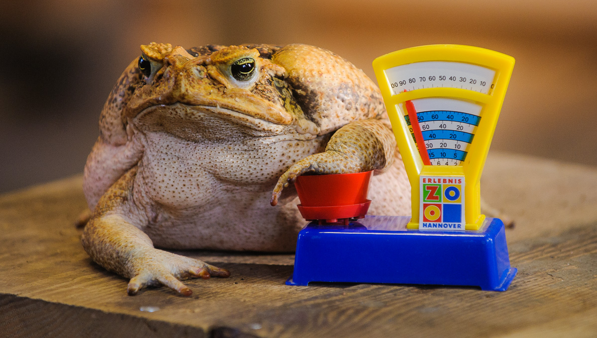 """Aga-Kroete (auch Riesenkroete, lat. Bufo marinus) """"Agathe"""" posiert am Mittwoch (05.01.11) im Erlebnis-Zoo Hannover waehrend eines Pressetermins anlaesslich der jaehrlichen Inventur der Zoo-Tiere auf einer Spielzeugwaage. Das Tier wog, auf einer realen Waage gemessen, 1850 Gramm."""