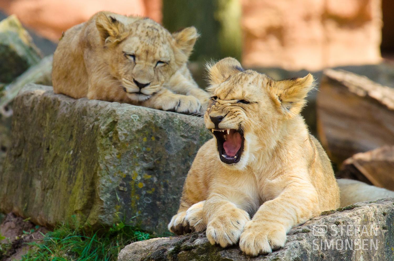 Berberlöwe (Panthera leo leo) im Zoo Hannover