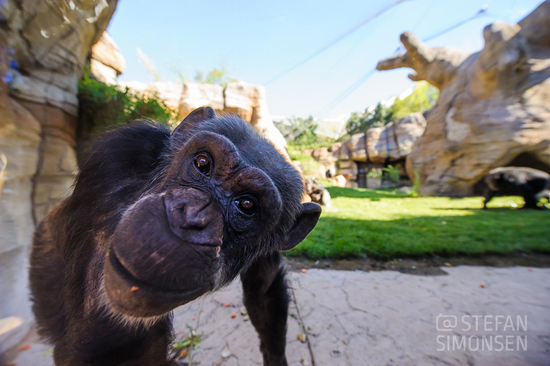 Na du? Ein Schimpanse steht bei der Eröffnung der neuen Schimpansen-Aussenanlage Kibongo im Erlebnis-Zoo Hannover direkt vor dem Fotografen und guckt durch eine Scheibe in die Kamera.