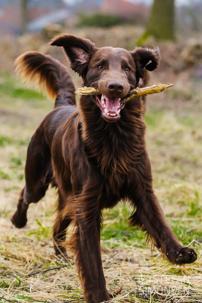 Hundeportrait im schnellen Lauf
